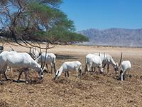 שמורת טבע חי בר ביוטבתה – ספארי כחול לבן